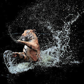 Playing Water by Indrawaty Arifin - Animals Lions, Tigers & Big Cats (  )