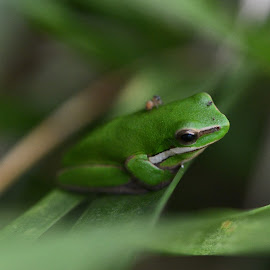 The Frog Rider by Kamila Romanowska - Animals Amphibians ( nature, frog, green, tree frog, australia, wildlife, sydney )