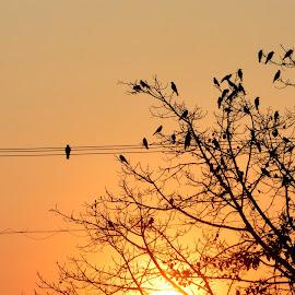 Silhouette by Solomon Sarkar - City,  Street & Park  Street Scenes ( birds of prey, tree, silhouette, morning glory, birds )