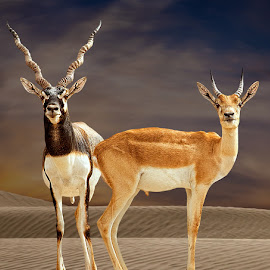 Black Bucks-Father & Son by Nayyer Reza - Animals Other Mammals ( pakistan, desert, cholistan, color, black bucks, couple, nayyer, male black bucks, reza )