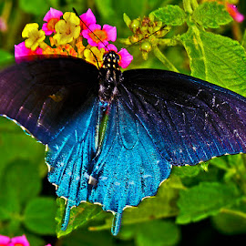 Pipevine swallowtail by David Winchester - Animals Insects & Spiders
