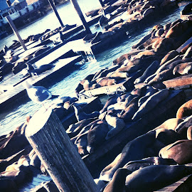 Seal Harbor by Jessica Raven - Animals Sea Creatures ( san francisco )