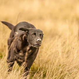 Paddy by Nick Jackson - Animals - Dogs Running