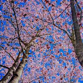 Spring Has Sprung by Barbara Brock - Nature Up Close Trees & Bushes ( pink flowers, pink tree blossoms, flowering tree, cherry blossoms )