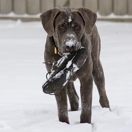 That's my shoe! by Gene Myers - Animals - Dogs Playing ( playing, shotsbygene, fence, snow, cane corso, dog, shoe, gene myers )
