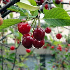 Rainy cherry by Jovanka Uljarevic - Food & Drink Fruits & Vegetables ( cherry tree, rain )