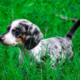 Pup on the bushes by Dave Lerio - Animals - Dogs Playing ( puppy,  )