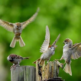 separow family by Sabdo Bintoro - Animals Birds
