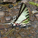 Short-lined Kite-Swallowtail