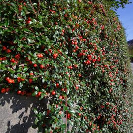 Cranberries by Stanislav Horacek - Food & Drink Fruits & Vegetables