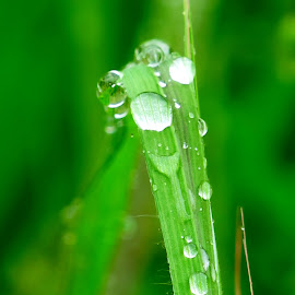grass blade after rain by Luna Sol - Nature Up Close Leaves & Grasses ( nature, grass blade, grass, green, drops, lunasol, rain,  )