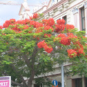 Flame Tree, Royal Poinciana