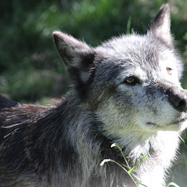 Grey Wolf - captive by Shelly Priest - Animals Other Mammals ( canine, grey wolf, zoo, wolf, captive, grey, gray )