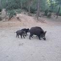 Javalí. Wild boar