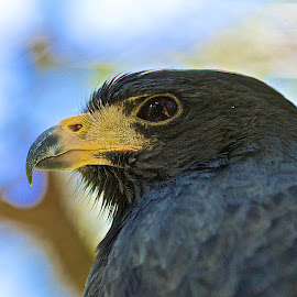 That Look by John Wilson - Animals Birds ( micro, nature, birds, hawk )