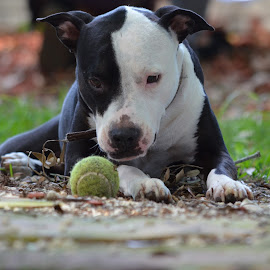Don't MOVE by Deirdre Cavener - Animals - Dogs Playing ( dog outside, black and white dog, dog with ball, dog, tennis ball )