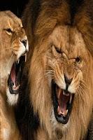 Screenshot of Lion wallpapers HD