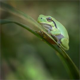 Boomkikker by Helsen Eddy - Animals Amphibians ( boomkikker, de doort )