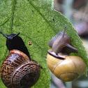 Garden snail & Grove snail
