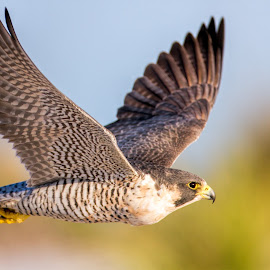 Peregrine Flyby by Dave Eppley - Animals Birds ( bird, flying, flight, falcon )