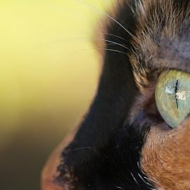 Sguardi felini by Massimiliano Giuliani - Animals - Cats Portraits