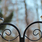 Redpoll & Chickadee Disagreement