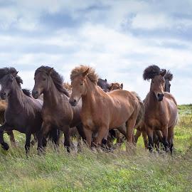 Running herd by Anna Guðmundsdóttir - Animals Horses ( icelandic horses, horses, íslenskir hestar, hestar )