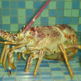 that's what I call a real lobster...this was about 1 foot tall... by Raja KC - Animals Sea Creatures (  )