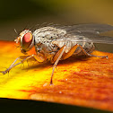 Grey Flesh Fly