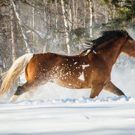 Horse in Snow by John Klingel - Animals Horses ( snow, horse, running )