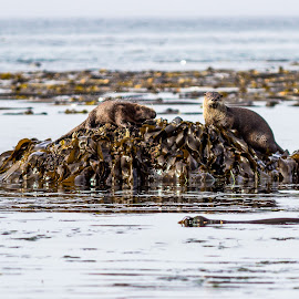 Hungry Otters by Drake Dyck - Animals Sea Creatures ( water, otters, seaweed, fur, ocean, sea otters )