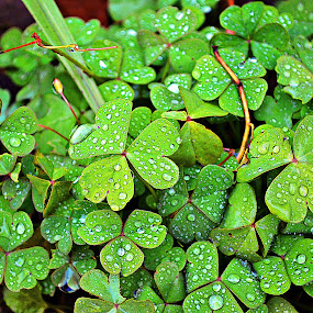Srčeka by Jelena Puškarić - Nature Up Close Leaves & Grasses ( green, colors, drops, nature up close, leaves,  )