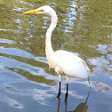 Great American Egret