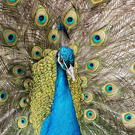 Peacock Oil Panting by Michael Golden - Digital Art Animals ( bird, zoo, line art, peacock, animal, colorful, mood factory, vibrant, happiness, January, moods, emotions, inspiration )