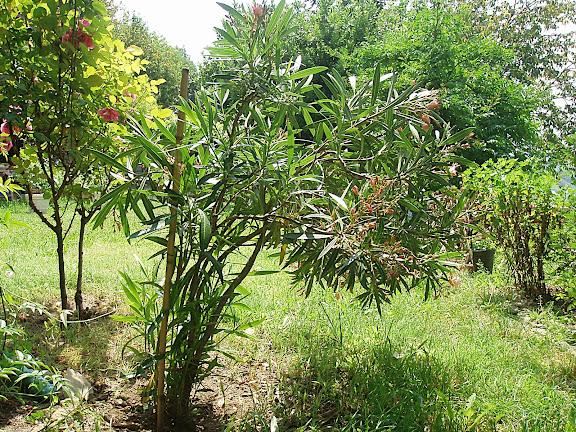 Come potare ad alberello l 39 oleandro foto forum for Oleandro potatura