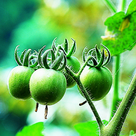 cherry tomato by Syamsul Rustam - Nature Up Close Gardens & Produce (  )