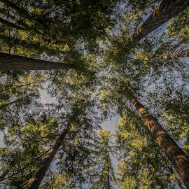Looking up by Eva Krejci - Nature Up Close Trees & Bushes ( blue sky, trees, forest, sun rays, tall )