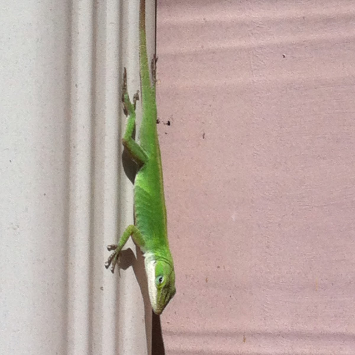 Green anole (Carolina anole)