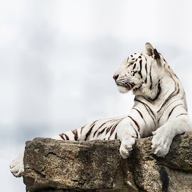 master of my domain by Alin Simionoiu - Animals Lions, Tigers & Big Cats ( 5d mark 3, white tiger, 2013, zoo, cougar mountain,  )