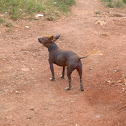 Cuban hairless dog (Cane)