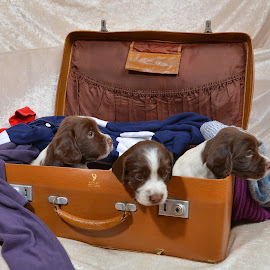 On their travels. by Philip Watts - Animals - Dogs Puppies ( puppies, spaniel )
