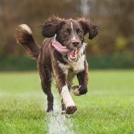 archie by Michael Sweeney - Animals - Dogs Running ( springer spaniel, nikon d3, park, spaniel, michael m sweeney, dog, nikon, jump )