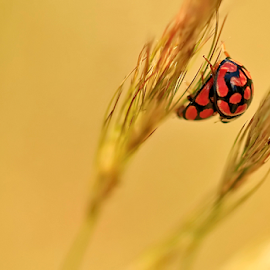 Summer lovin' by Mari du Preez - Animals Insects & Spiders ( grass, nature up close, ladybird, yellow, insects )