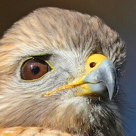 Birds eye view! by Anthony Goldman - Animals Birds ( bird, up close, wild, predator, tampa, red shouldered, retention pond, hawk,  )