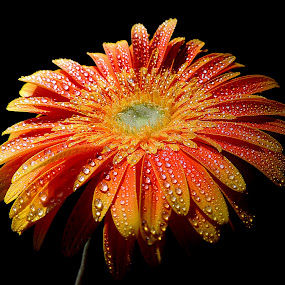 Sunset gerbera by Biljana Nikolic - Flowers Single Flower ( , colorful, mood factory, vibrant, happiness, January, moods, emotions, inspiration )