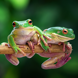 by Robert Cinega - Animals Amphibians (  )