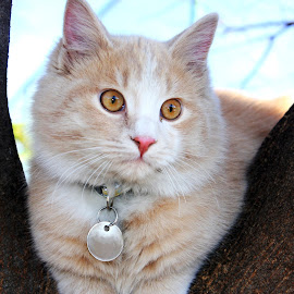 Binx by Traci Rautenbach - Animals - Cats Portraits ( cat, fluffy, tree, ginger, beautiful )