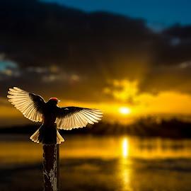 Vermilion Flycatcher  by Joe Neely - Animals Birds ( angel wings, vermilion flycatcher, spiritual, morning bird, beautiful morning, bird wings, sunrise )