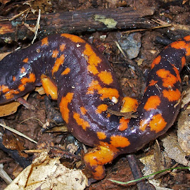 Tiger Salamander by Waynette  Townsend - Animals Amphibians ( wild, orange, salamander, purple, california, amphibian, animal,  )