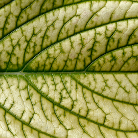 Leaf by Nikola Vlahov - Nature Up Close Leaves & Grasses ( nature, green, hortensia, hydrangea, leaf, close up )